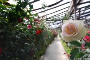 Exportación de flores aumenta en San Valentín. Foto: Solo Rosa
