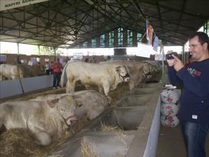Vacas en la Feria Internacional Ganadera de Zafra (Badajoz).EFE