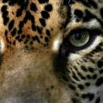 Zoológico Simón Bolívar tendrá nuevo y mejor recinto para dos felinos