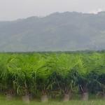 Productores de palma acabarán el año con tintes negativos