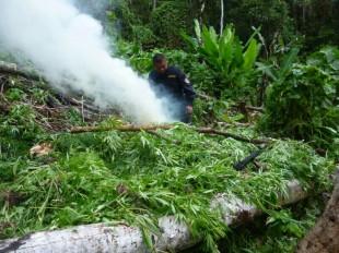 Método de plantación de marihuana en zonas indígenas ha evolucionado, asegura ministro de Seguridad