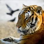 Un tigre liberado por Putin, acusado de masacrar un corral de cabras en China