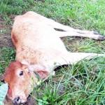 Vigilan finca en Limoncito de Coto Brus en la que detectaron brote de rabia paralítica bovina