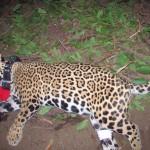Collares con GPS darán pistas para evitar desaparición del jaguar en el país