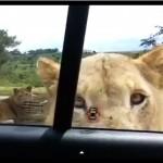 Video: En safari, leona abre puerta de carro y da un gran susto a turistas