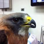 Triste historia: Zoológico Bolívar recibe ave con lesión permanente que no podrá regresar a EE.UU.