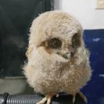 La foto del día: Fuerza Pública rescata pichones de lechuza