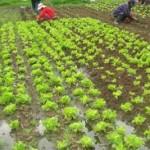 Producción de banano, papaya y hortalizas serán los más afectados por el Fenómeno del Niño