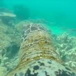 Video: Increíble vistazo a recorrido de una tortuga en la Gran Barrera de Coral