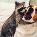 Mapache rescatado cree ser un perro más en esta familia